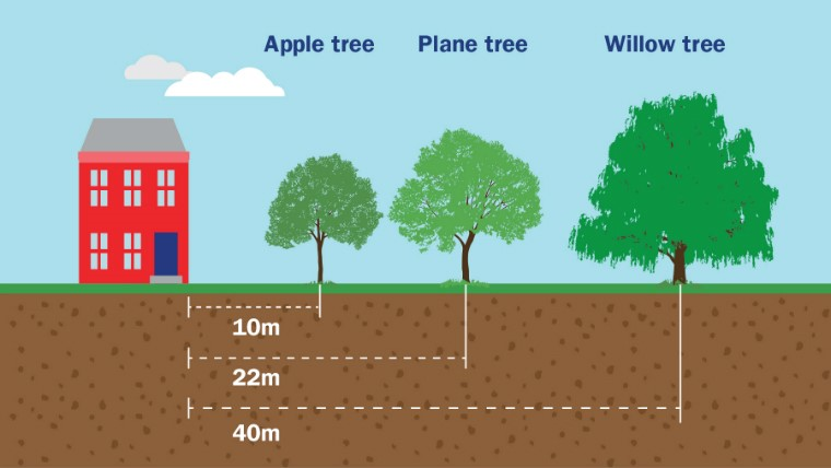 An illustration depicting how far away certain trees should be planted to minimise the risk of subsidence